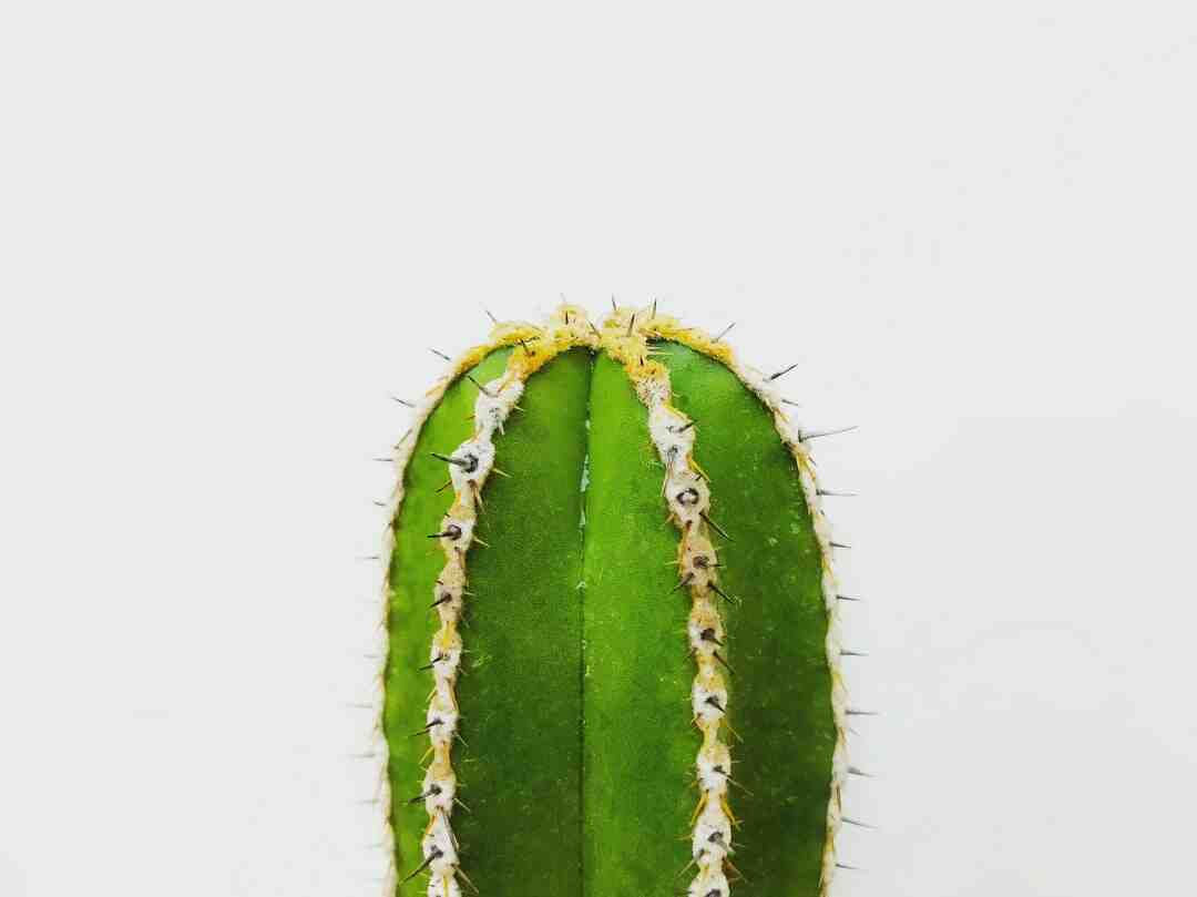 Comment rempoter gros cactus ?